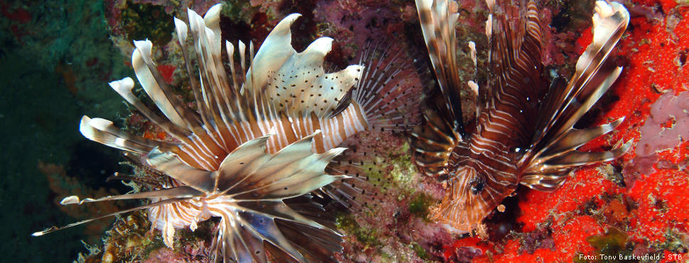 Lion Fish TonyBaskeyfield STB